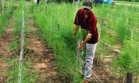 Ninh Thuận: Người trồng măng tây xanh lãi cao