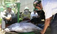 Cá ngừ sao mãi bấp bênh!