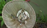Giá cá tra giống cao kỷ lục