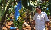 Giá thấp nhất 2 năm qua, người trồng chuối khốn đốn