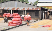 Vì sao lúa gạo lên giá ngay đầu vụ?
