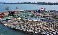 Nghề nuôi tôm hùm, cá bớp, hàu sữa ở vùng biển Sa Huỳnh