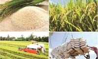 Cởi nút thắt về thể chế cho gạo Việt