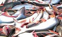 Giá cá tra tăng, cung không đủ cầu