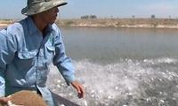 Cá tra tăng giá, người nuôi lãi từ 1,5 - 1,7 triệu đồng/tấn