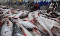 Giá cá tra xuất khẩu đã tăng hơn 30%