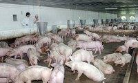 Chưa xuất khẩu được thịt lợn chính ngạch sang Trung Quốc