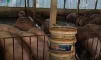 Bộ Nông nghiệp lý giải vì sao giá lợn hơi chạm đáy