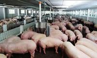 Thủ tướng giao NHNN hướng dẫn các TCTD giãn nợ, miễn giảm lãi vay chăn nuôi lợn