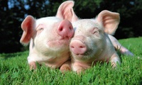 Lãi gấp đôi kế hoạch, Chăn nuôi Phú Sơn chốt quyền nhận cổ tức bằng tiền tỷ lệ 60%