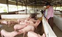 Giá lợn hơi rẻ hơn... rau, ai được hưởng lợi?