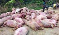 Lợn nuôi Việt Nam vỡ trận: Bộ Nông nghiệp chỉ đạo nóng