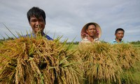 'Cởi trói' cho xuất khẩu gạo: Mới giải quyết phần ngọn
