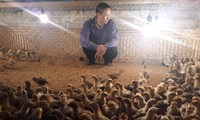 Người nuôi gà điêu đứng vì H7N9: Gà Yên Thế thất thủ