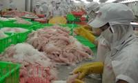 Giá cá tra tăng, người nuôi thu lãi khủng