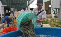 Giá tôm đầu vụ ở mức cao, nông dân phấn khởi