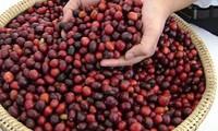 Xuất khẩu cà phê 3 tháng đầu năm đạt 1 tỷ USD