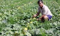 Trồng trái cây chưng Tết cho thu nhập cao