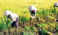 10 năm qua thu nhập của người nông dân trồng lúa Việt Nam đã giảm tới 7 lần, ngành gạo phải làm gì?