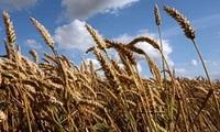 Nhiều nhà nhập khẩu châu Á ngừng mua lúa mỳ Mỹ