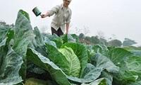 Giá rau củ tăng vọt: Nông dân chưa được lợi