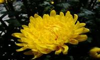 Giá hoa cúc dịp lễ Vu Lan cao hơn hoa tết