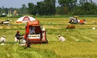 Sản lượng lúa cả nước trong năm nay dự kiến sẽ đạt 45 triệu tấn