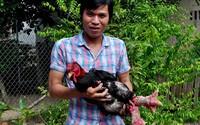 Kỹ sư bỏ việc nuôi công, chim trĩ kiếm hàng trăm triệu/năm