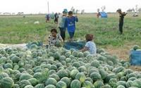 Trồng dưa hấu dưới chân ruộng giúp nông vùng hạn tăng thu nhập