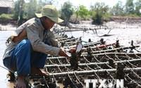 Bến Tre: Hàu chết hàng loạt vì độ mặn cao, nông dân điêu đứng