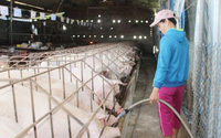 """Không """"ngăn sông cấm chợ"""" để """"giải cứu"""" thịt lợn dư thừa"""