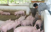 Giá lợn hơi đã tăng