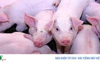 Thịt lợn ở Mỹ cũng đang dư thừa