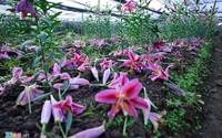 Hoa ly rụng đỏ gốc sát Tết, nông dân thiệt hại nặng nề