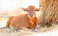 Chuyện tối thứ 4: Nên tặng bò hay nên giết đi con bò cuối cùng của bạn?