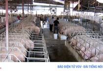 Giá heo giảm sâu - Người chăn nuôi bên bờ vực phá sản