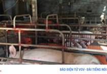 Khủng hoảng giá heo: Cơ hội cải tổ ngành chăn nuôi
