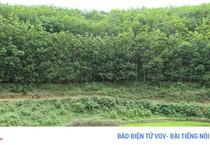 Cao su Điện Biên kỳ vọng vào mùa thu hoạch đầu tiên