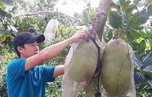 Nông dân Tiền Giang trúng đậm mùa mít Thái siêu sớm
