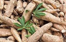 CTCP Chế biến Nông sản Hồng Hà Sơn La  (HSL): 9 tháng lãi 22,3 tỷ đồng, kỳ vọng đột phá vào thị trường sắn cuối năm 2018