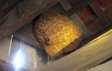 Một gia đình sống chung với hàng nghìn con ong vò vẽ kịch độc trong phòng ngủ