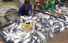 Giá cá tra tăng đột biến