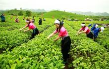 Phó TGĐ GTNfoods: Vinatea đã tái cấu trúc thành công và thiết lập thị trường xuất khẩu mạnh