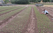 Trồng hoa cúc 'dư ra' trăm triệu đồng trên 450m2 ruộng