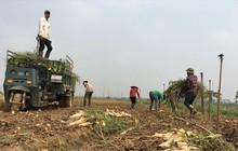 Hàng ngàn tấn củ cải phải đổ bỏ: Không thể cứ mãi giải cứu