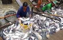 Cá tra Việt Nam đi đâu khi Mỹ đánh thuế cao nhất lịch sử?
