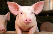 """Vì sao giá lợn hơi tăng """"phi mã""""?"""