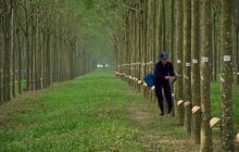 PHR (mẹ): Quý 2 lãi gần 104 tỷ đồng tăng mạnh so với cùng kỳ nhờ thanh lý cây cao su