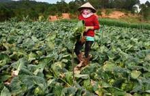 Nông sản Đà Lạt giảm giá mạnh