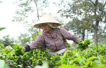 Đức Long Gia Lai chính thức là nhà đầu tư chiến lược công ty chè và công ty cà phê của tỉnh Gia Lai
